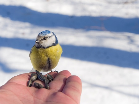 blue tit on the palm in a winter day photo