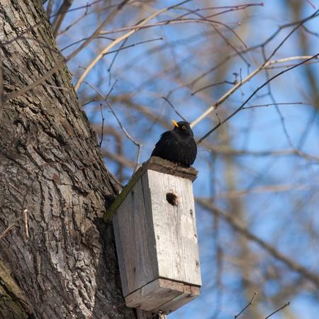 blackbird sitting on a birdhouse in a tree Stock Photo - 18567701