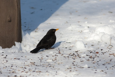 blackbird on the snow in winter day Stock Photo - 18567655