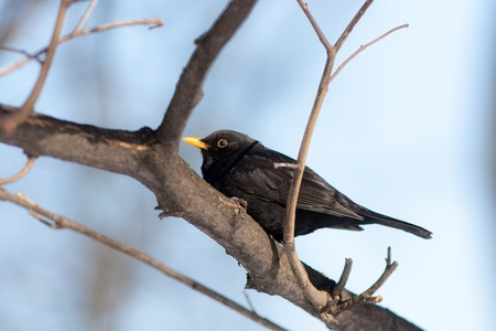 portrait of a blackbird on a tree branch Stock Photo - 18567662