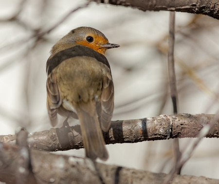 robin on a tree branch in the spring photo