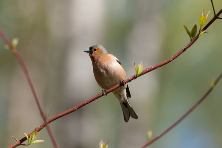 warblers: portrait of chaffinch on a branch of spring tree