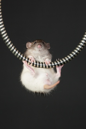 domestic young rat hanging on the tube photo