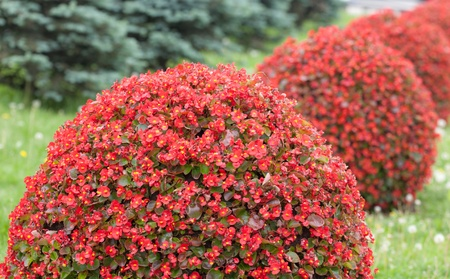red bush: red bush in the shape of a sphere Stock Photo