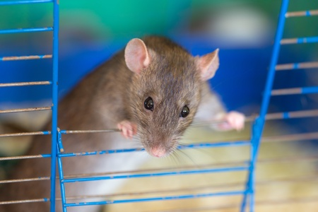 curious domestic rat in a cage close up photo