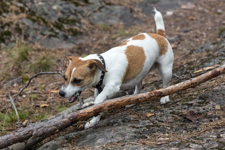 the playful puppy gnaws a tree branch photo