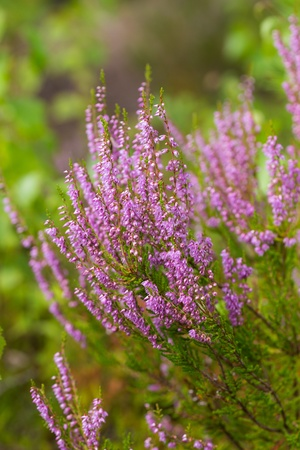 erica: bushes blooming heather in the summer close up Stock Photo