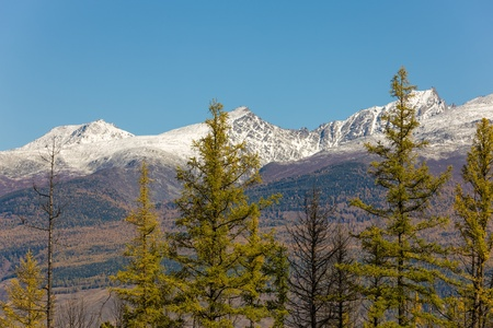 coniferous forest on the background of snowy peaks photo