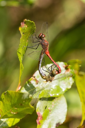two red dragonflies on the leaves of the tree photo