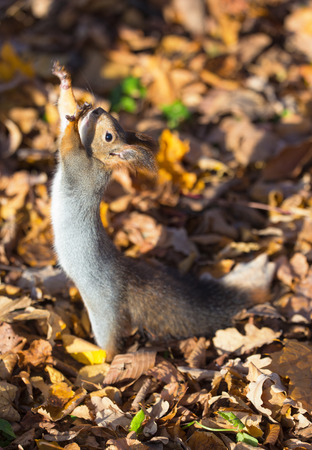 portrait of a squirrel among the autumn leaves photo