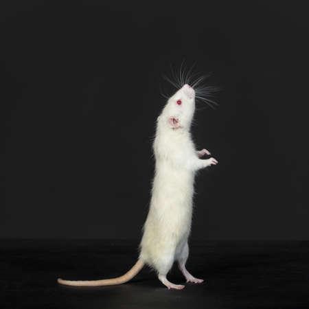 portrait of a curious domestic white rat photo