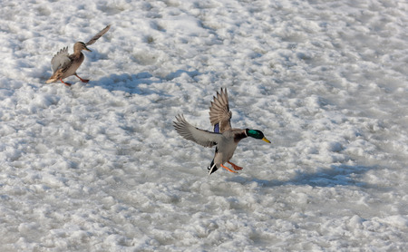 ducks landing on the ice of the river in winter photo