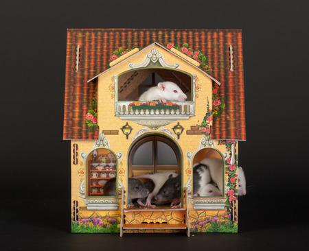 puppenhaus: sehr kleine Babyratten im Puppenhaus Lizenzfreie Bilder