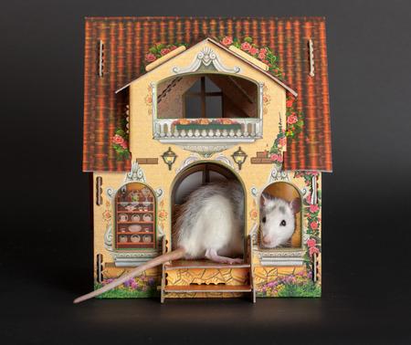 puppenhaus: inl�ndischen Ratte im Puppenhaus hautnah