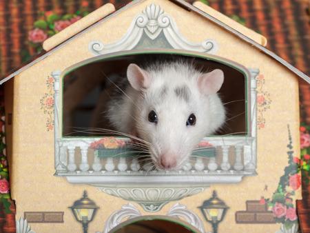 puppenhaus: inl�ndischen Ratte auf dem Balkon ein Puppenhaus