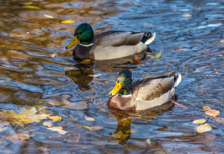 color image mallard duck: ducks in the water with fallen leaves in autumn Stock Photo
