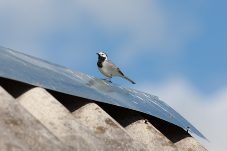 wagtail on the roof of a village house photo