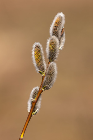 willow buds in spring closeup on foregraund photo
