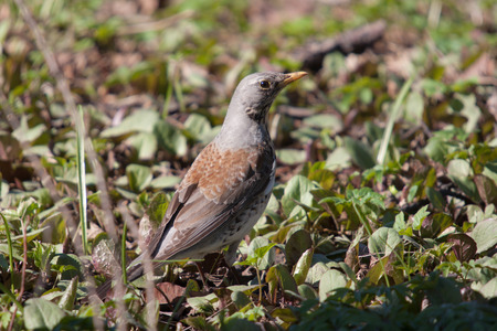 portrait of fieldfare in spring green grass photo