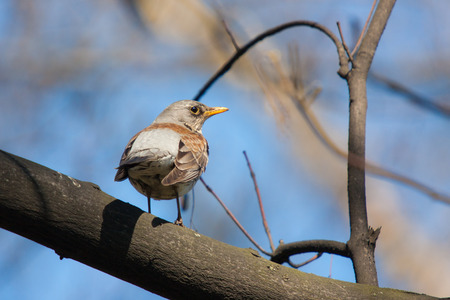 portrait of fieldfare on branch tree in spring photo