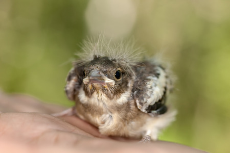 Small baby bird chaffinch on a palm photo