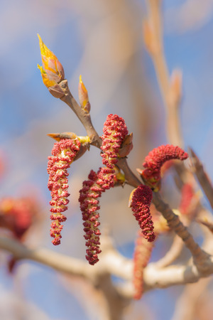 poplar buds in the spring close up photo