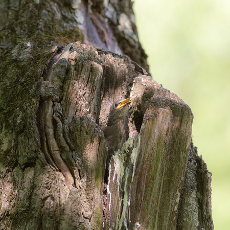 nestling: nestling starling sits in a hollow tree Stock Photo
