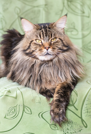 coon: cat Maine Coon lying on the sofa Stock Photo