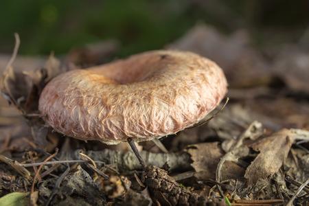 torminosus: Lactarius torminosus mushroom in the forest close up