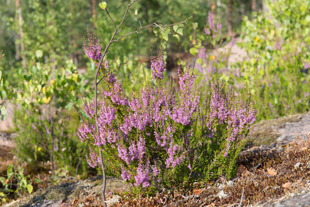 erica: blooming heather in the summer close up
