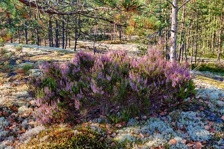 erica: blooming heather in the summer forest in morning