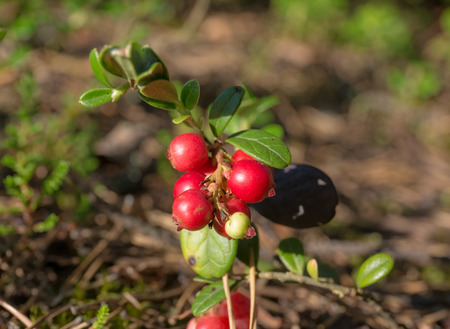 Lingonberry shrub in the forest close up photo