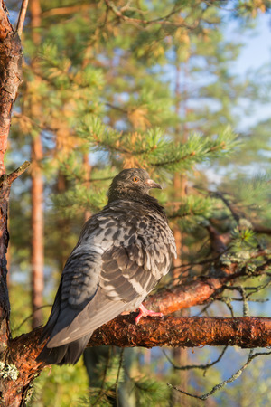 Portrait of a pigeon sitting on a pine tree photo