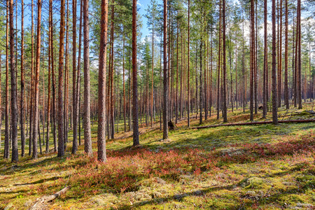 landscape in a pine forest on a sunny day photo
