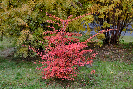 barberry: barberry bush with red leaves in autumn Stock Photo