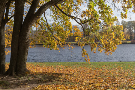 autumn maple tree by the river on a sunny day photo