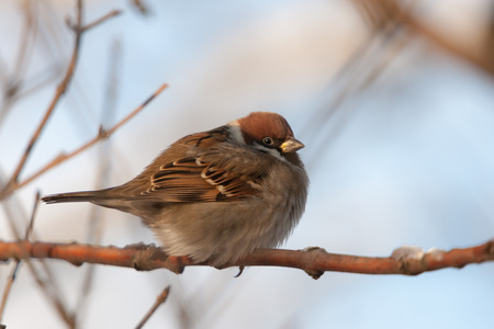 passer by: sparrow sitting on a branch (Passer montanus) Stock Photo
