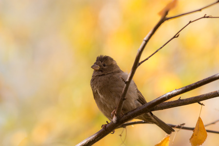 sparrow sitting on a branch of an autumn tree photo