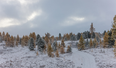 coniferous forest after snowfall in the early morning photo