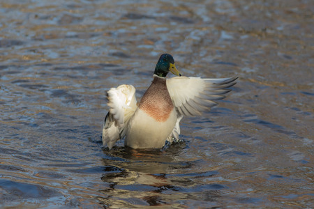 duck in the lake water waving wings photo