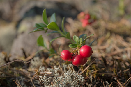 Lingonberry bush in the forest close up photo