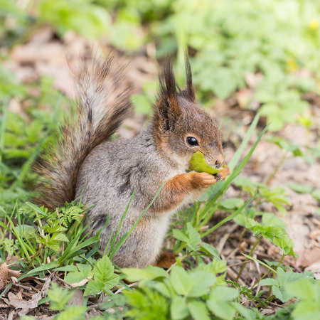 small squirrel eats fruit in the grass photo