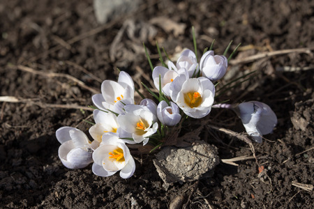 white spring crocuses close up in spring photo