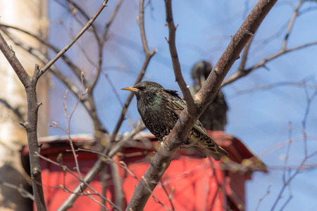 spring starling sits on a red birdhouse and birch photo