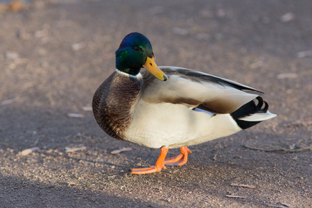 color image mallard duck: portrait of a duck on the ground closeup