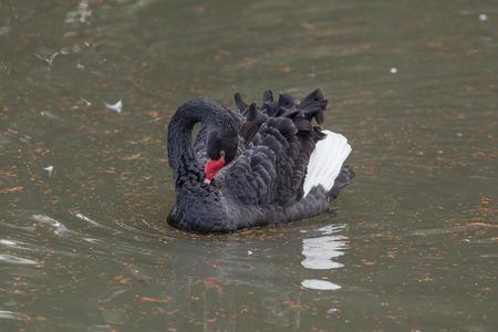 cygnus atratus: Portrait of a black swan in the water Stock Photo