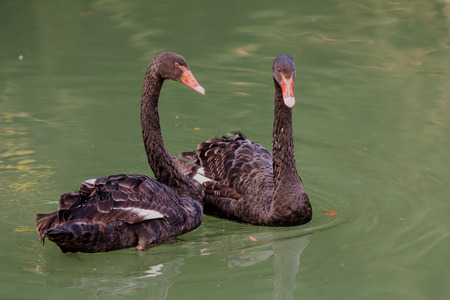 cygnus atratus: two black swans in the green water