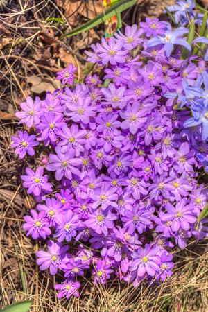 liverwort: blooming purple liverwort in spring close up