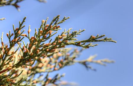 juniper: juniper branches in spring closeup (Juniperus sargentii)