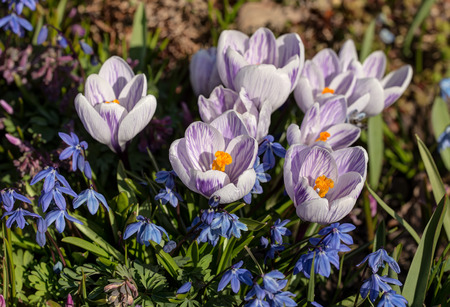 bluebell: crocuses and bluebell close up in a sunny spring day
